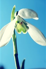 Preview iPhone wallpaper White snowdrop, blue sky background