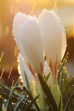 Preview iPhone wallpaper White snowdrops, rain