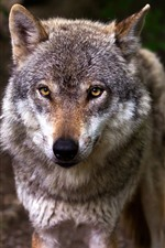 Preview iPhone wallpaper Wildlife, wolf, look, eyes, front view