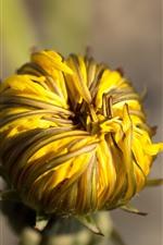 Yellow dandelion flower bud close-up