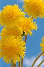 Preview iPhone wallpaper Yellow dandelions flowers, blue sky