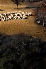 Preview iPhone wallpaper Autumn, trees, sheep