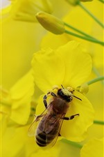 Preview iPhone wallpaper Bee, rapeseed flowers, yellow petals