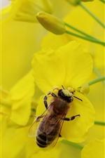 Bee, rapeseed flowers, yellow petals