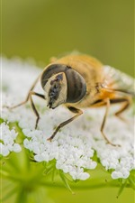 Preview iPhone wallpaper Bee, white little flowers, insect