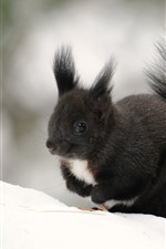 Preview iPhone wallpaper Black squirrel, winter, snow
