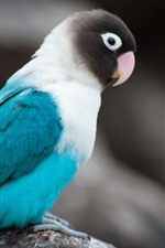 Preview iPhone wallpaper Blue feather parrot, bird, gray background