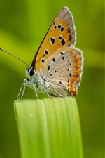 Preview iPhone wallpaper Butterfly, wings, green grass leaf
