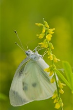 Butterfly, yellow flowers, green background