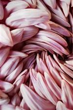 Aperçu iPhone fond d'écranMacrophotographie de pétales de chrysanthème rose