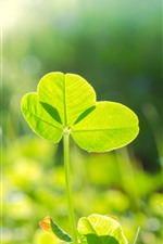 Trevo, folhas verdes, sol, natureza