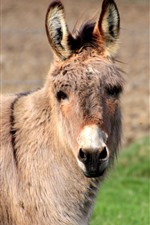 Preview iPhone wallpaper Donkey, look, mane