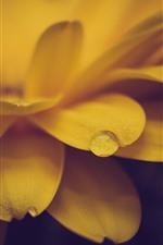Close-up de flores, pétalas amarelas, gotas de água