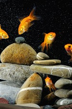 Goldfish, stones, water bubbles