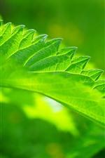 Fotografia de macro de folha de urtiga verde