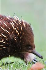 Preview iPhone wallpaper Hedgehog, thorns, grass