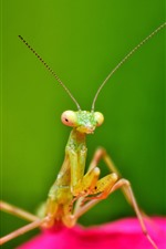 Insect, mantis, antenna