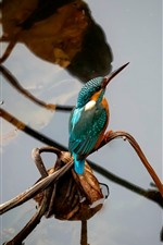 Preview iPhone wallpaper Kingfisher, dry leaves