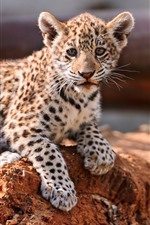 Preview iPhone wallpaper Leopard cub, look, wildlife