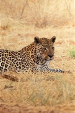 Preview iPhone wallpaper Leopard, rest, grass, wildlife
