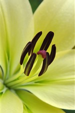 Preview iPhone wallpaper Light yellow lily close-up, petals, pistil