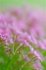Pequenas flores cor de rosa, fundo nebuloso, primavera