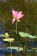 Preview iPhone wallpaper Lotus, pink flowers, pond, leaf, stem