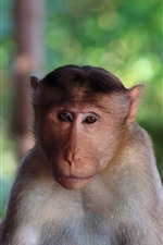 Preview iPhone wallpaper Monkey look at you, face, hazy background