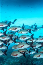 Preview iPhone wallpaper One flock of fish, underwater, sea