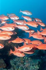 One flock of red fish, underwater, sea