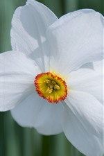 Preview iPhone wallpaper One white daffodil flower close-up, petals
