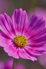 iPhone壁紙のプレビュー ピンクの花のクローズアップ、花びら、コスメヤ