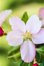 ピンクの花のクローズアップ、花びら、かすんでいる、春