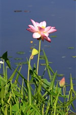 Preview iPhone wallpaper Pink flowers, lotus, lake