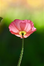 Preview iPhone wallpaper Pink poppy flower, green background, spring
