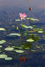 Preview iPhone wallpaper Pond, lotus, flowers, clear water