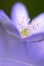 Preview iPhone wallpaper Purple flower close-up, pistil, hazy