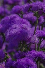 iPhone обои Фиолетовые цветы, весна, растения