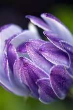 Preview iPhone wallpaper Purple osteospermum flower, water droplets