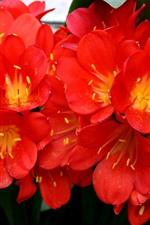 Flores vermelhas florescem, pétalas