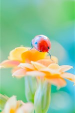 Preview iPhone wallpaper Red ladybug, insect, orange flowers, hazy