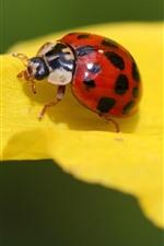 Red ladybug, yellow petals