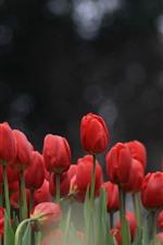 Tulipas vermelhas, fundo nebuloso