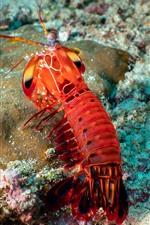 Preview iPhone wallpaper Shrimp, sea animal