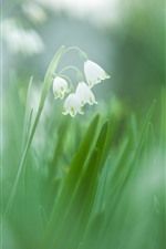 Preview iPhone wallpaper Snowdrops, white flowers, green background