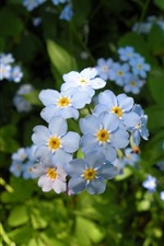 Some blue flowers, forget-me-not