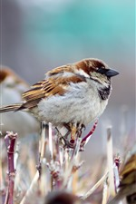 Preview iPhone wallpaper Some sparrows