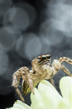 Spider, flower petals