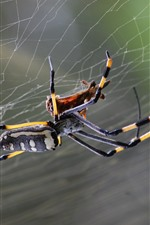 Preview iPhone wallpaper Spider, web