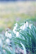 Preview iPhone wallpaper Spring, snowdrops, hazy